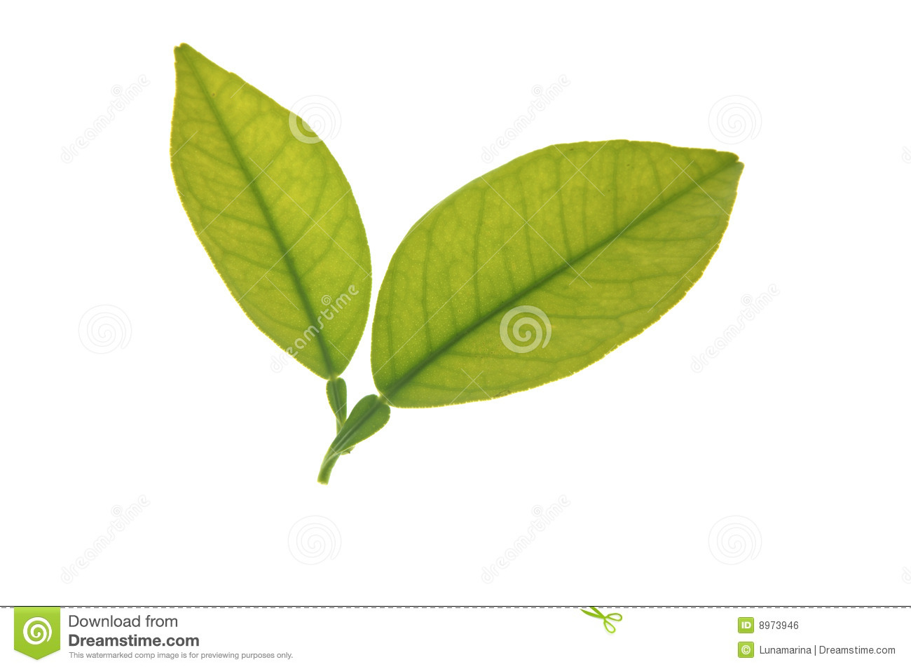 Two Green Orange Tree Leaves Isolated Over White Royalty