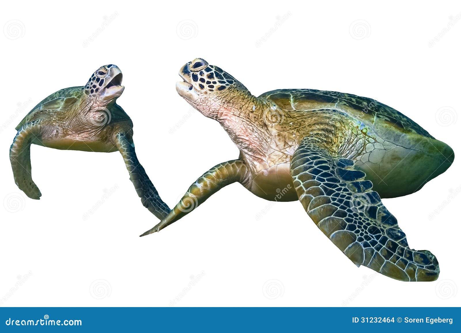 turtle white background - photo #47