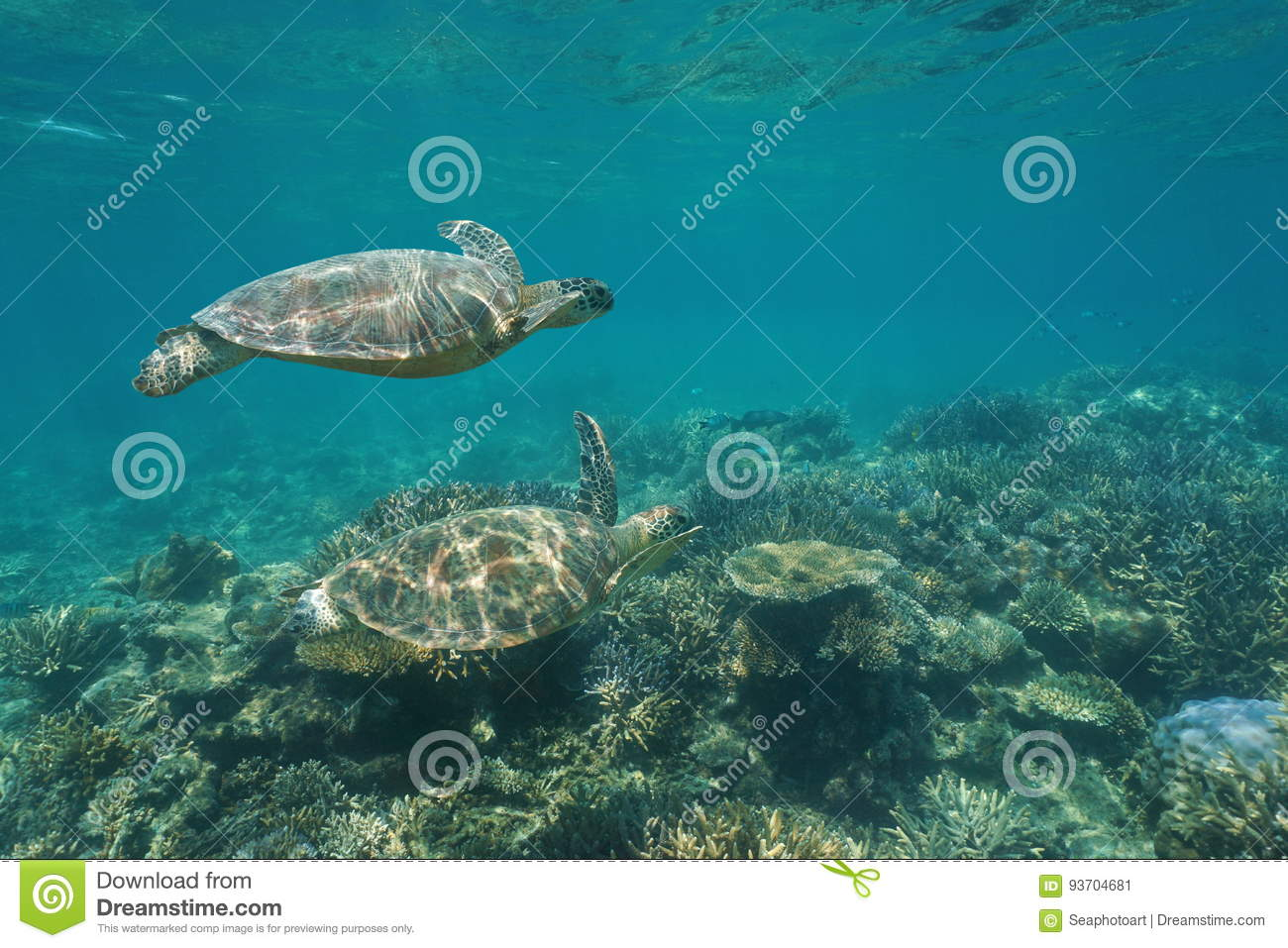Two green sea turtles under water over coral reef