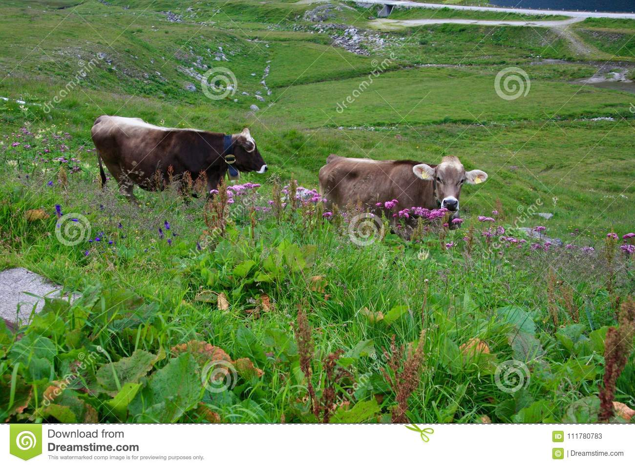 Two grey cows on alpine green valley. Switzerland.