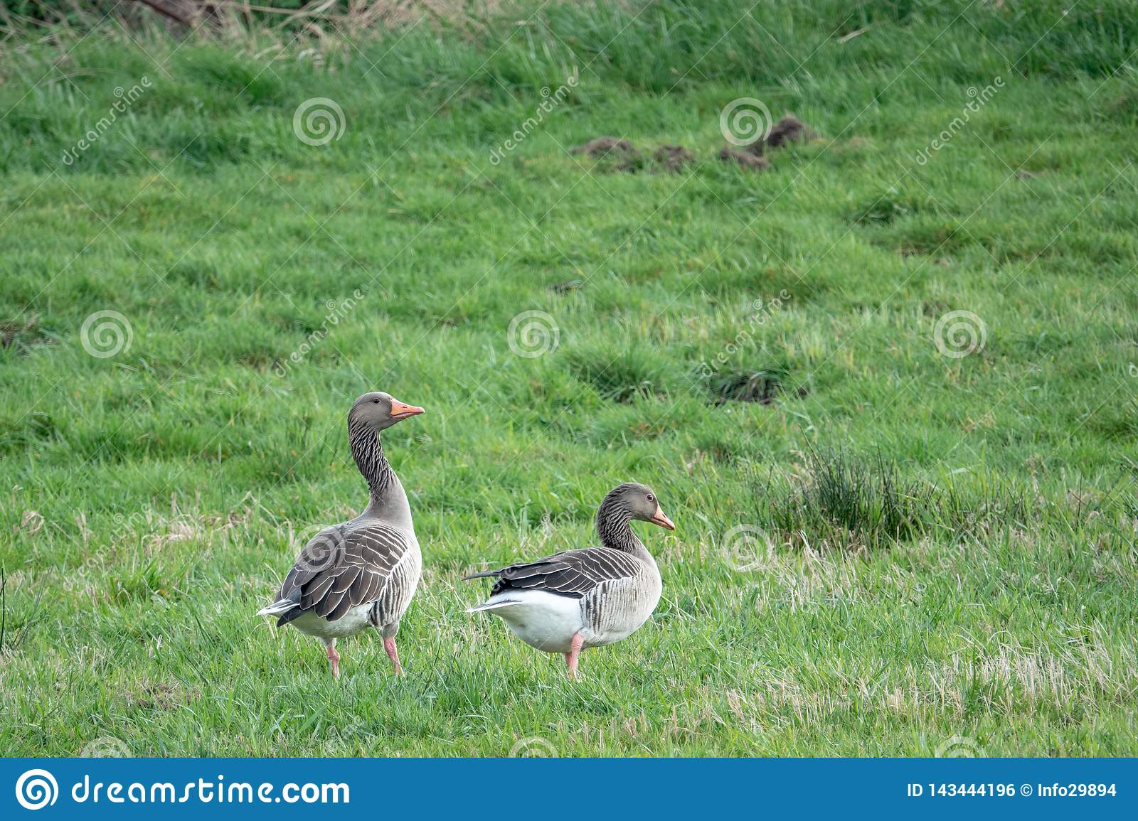 2 grey geese stand on a meadow and cackle and eat