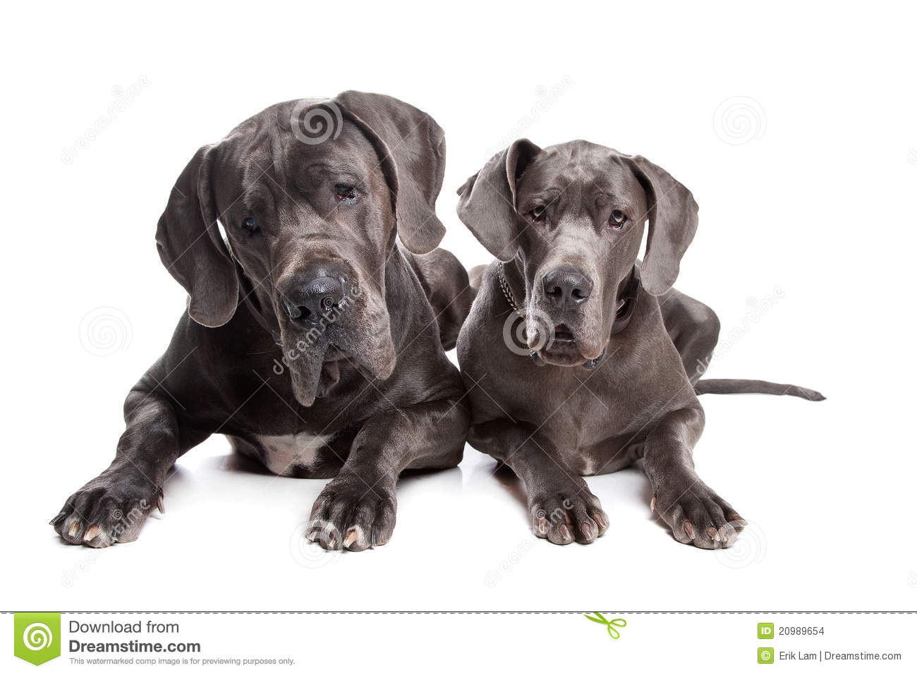 Two grey great Dane dogs on front of a white background.
