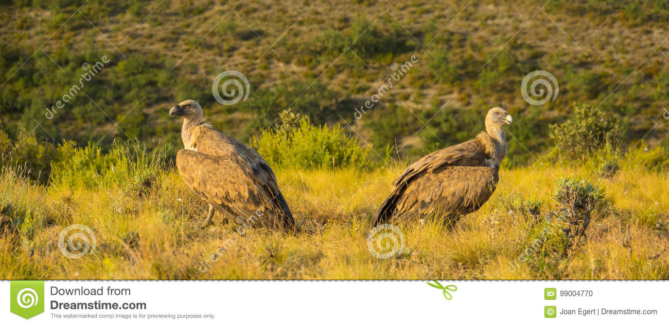 Two Griffon Vultures giving their backs one another