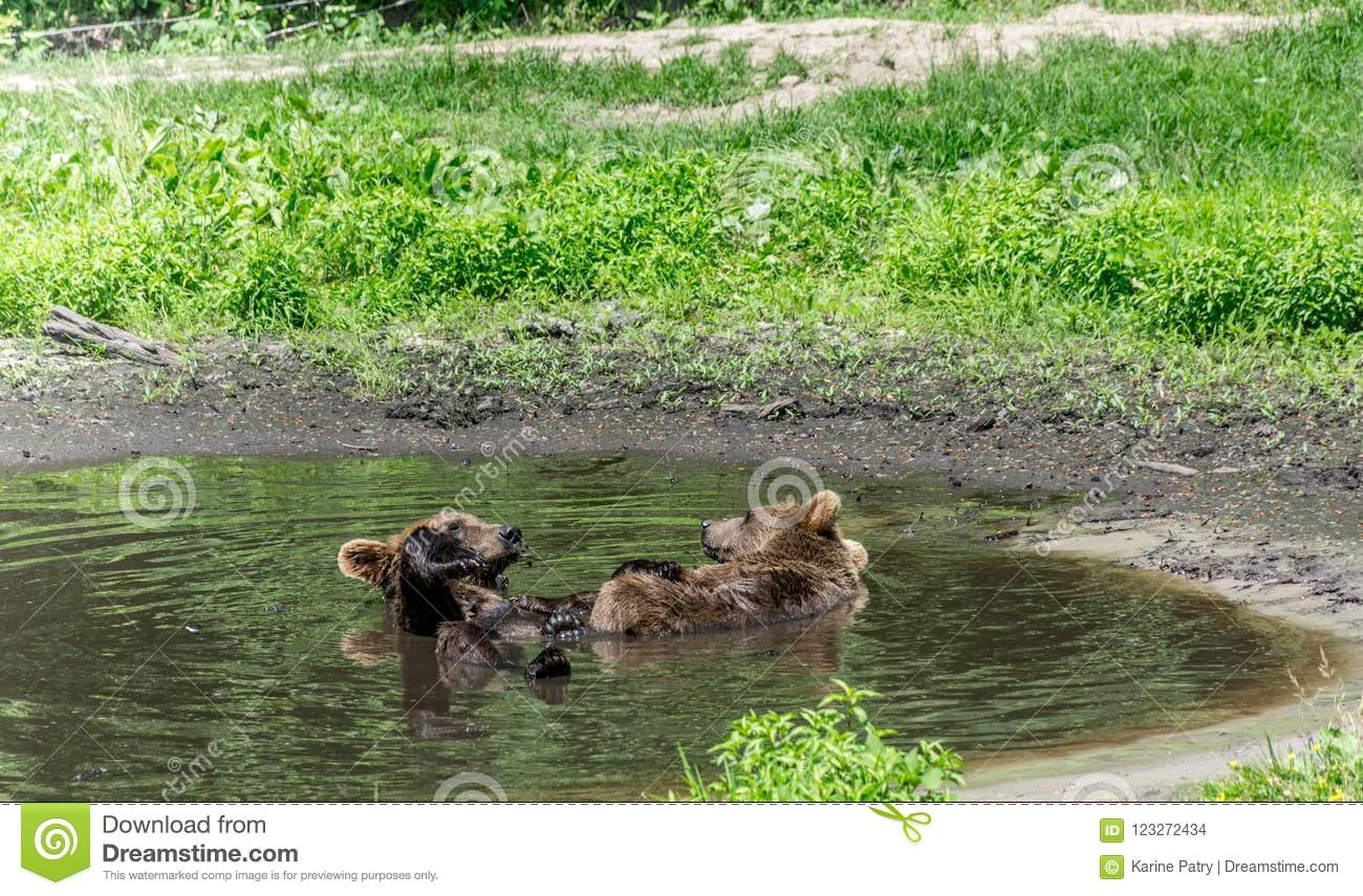 Two Grizzly Bears Enjoying a Pool Party