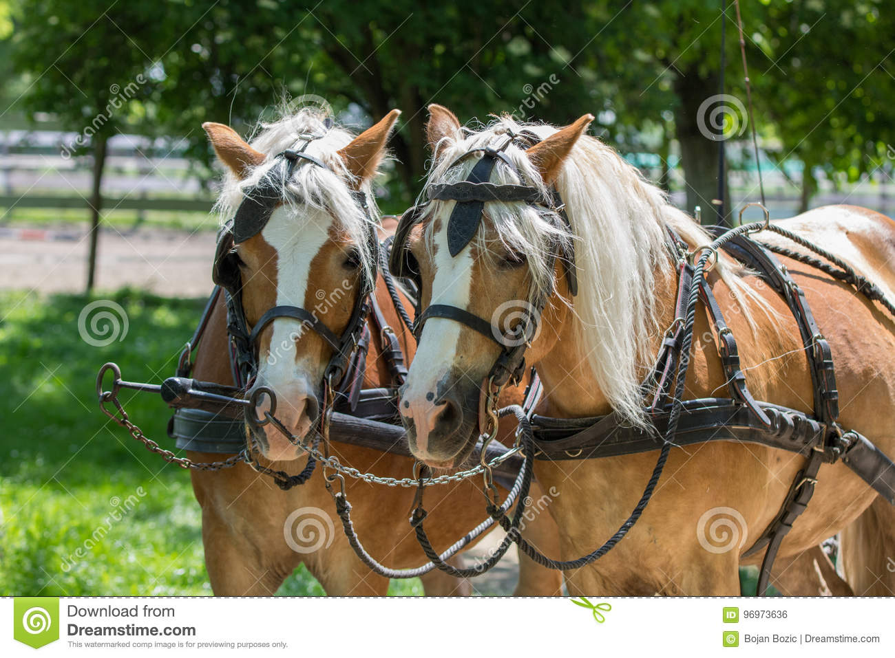 Two Haflinger Horses Ready For The Carriage Stock Photo - Image of