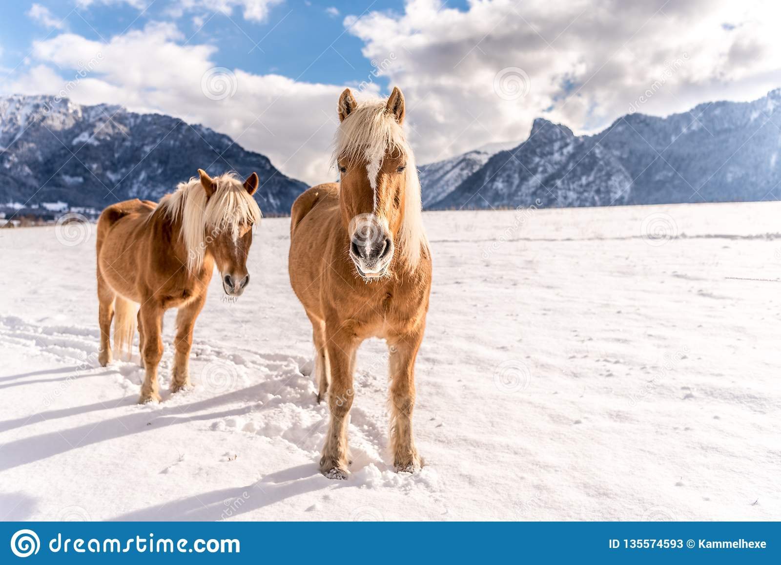 Two Haflinger horses on the winter meadow and mountain peaks on background