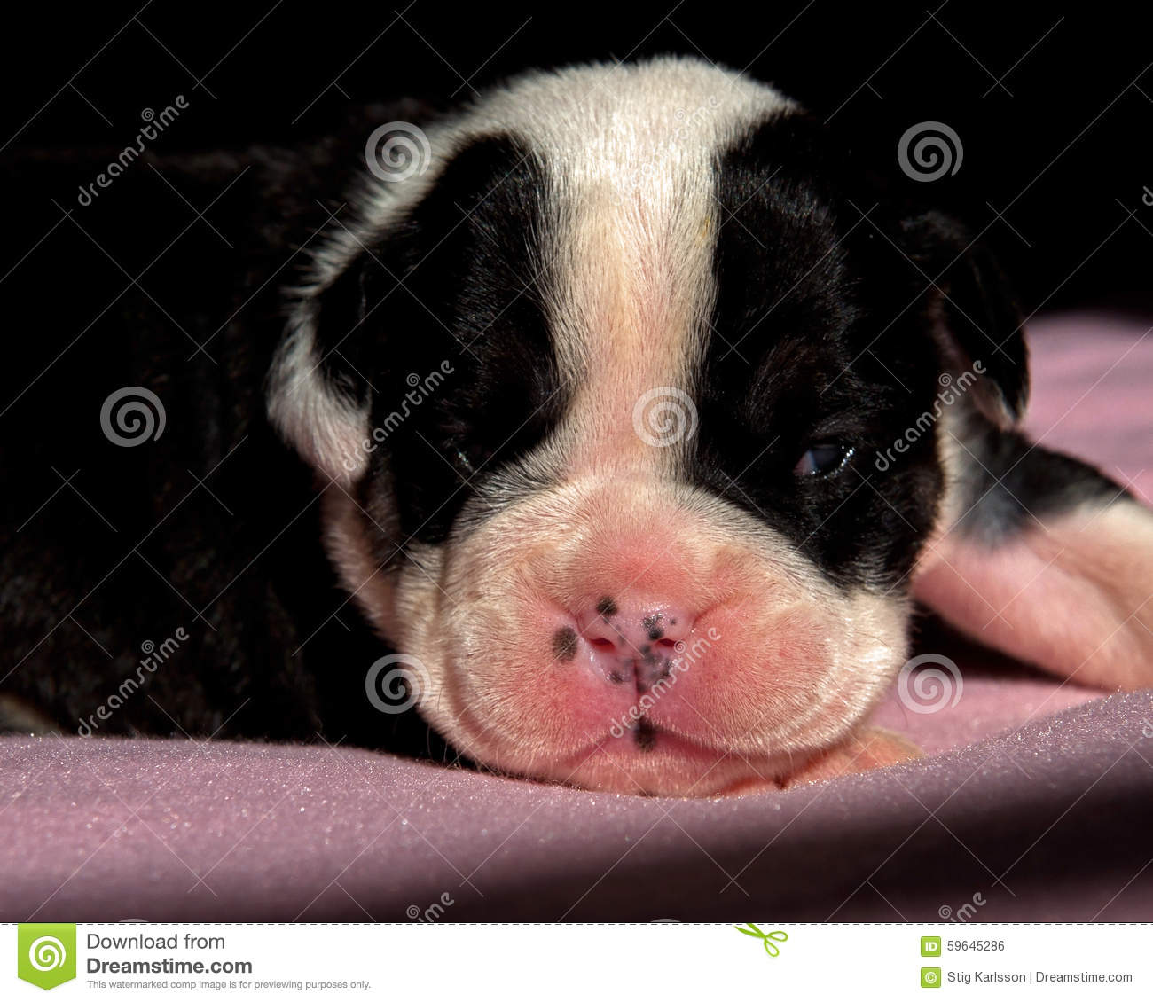 Two And A Half Week Old English Bulldog Puppy Stock Photo Image Of