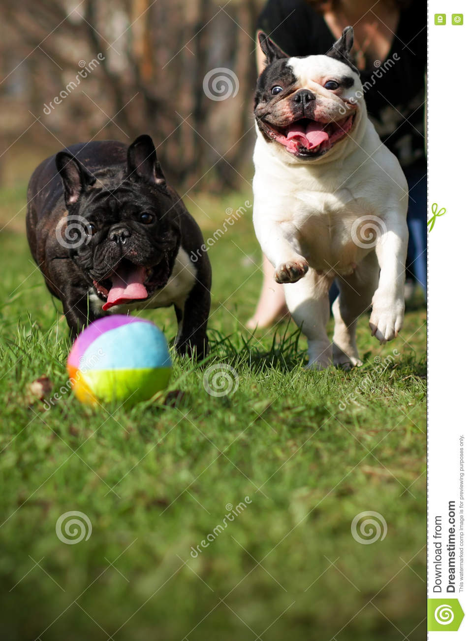 Two happy dogs French bulldogs playing ball