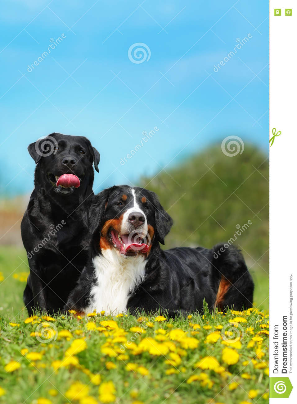 Two happy dogs lie in the summer outdoors