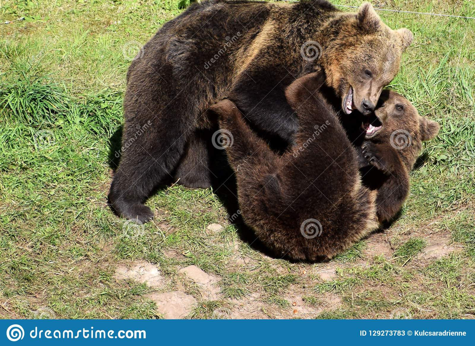 Two young brown bears playing