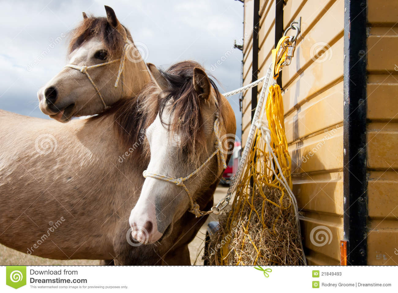 Two Headed Horse Or Two Look-a-like Ponies. Stock Photos ...