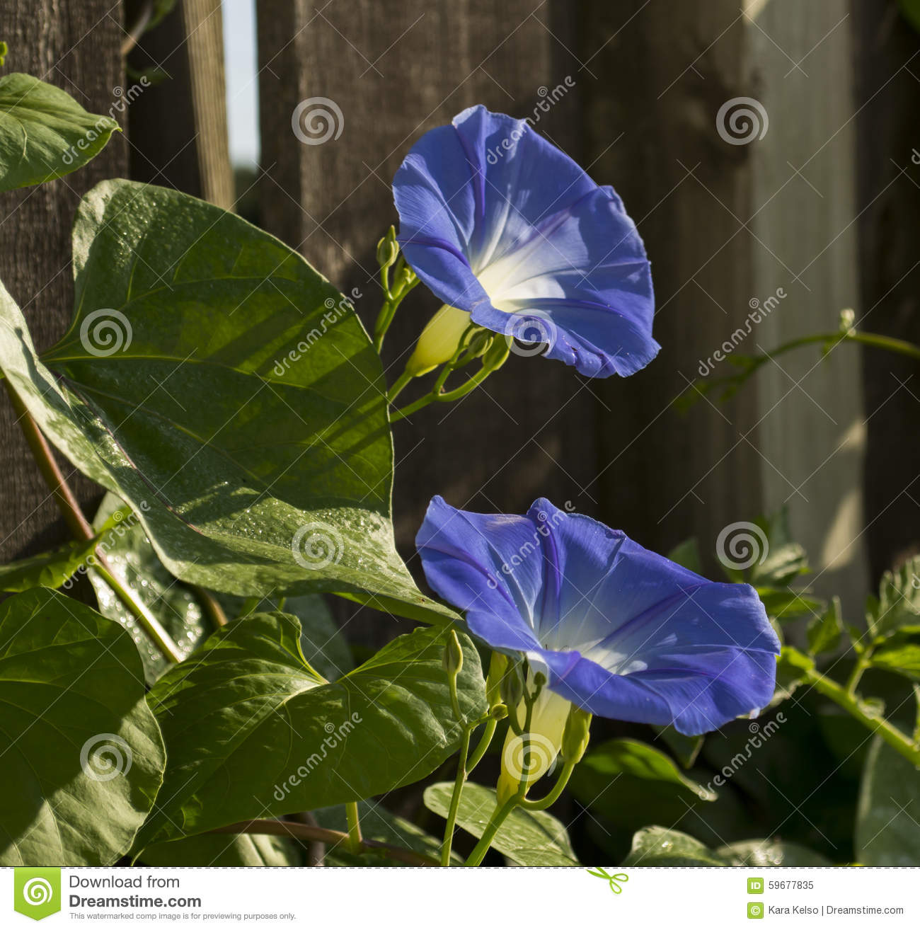 two heavenly blue morning glory flowers stock image. Black Bedroom Furniture Sets. Home Design Ideas
