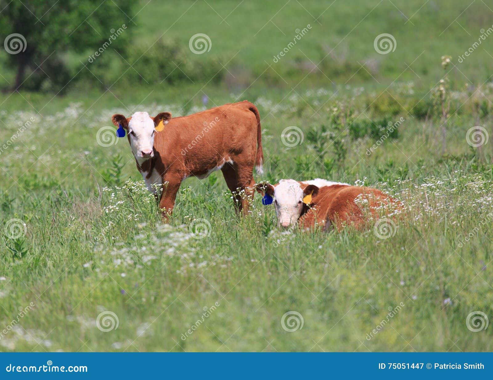 Two Hereford calves