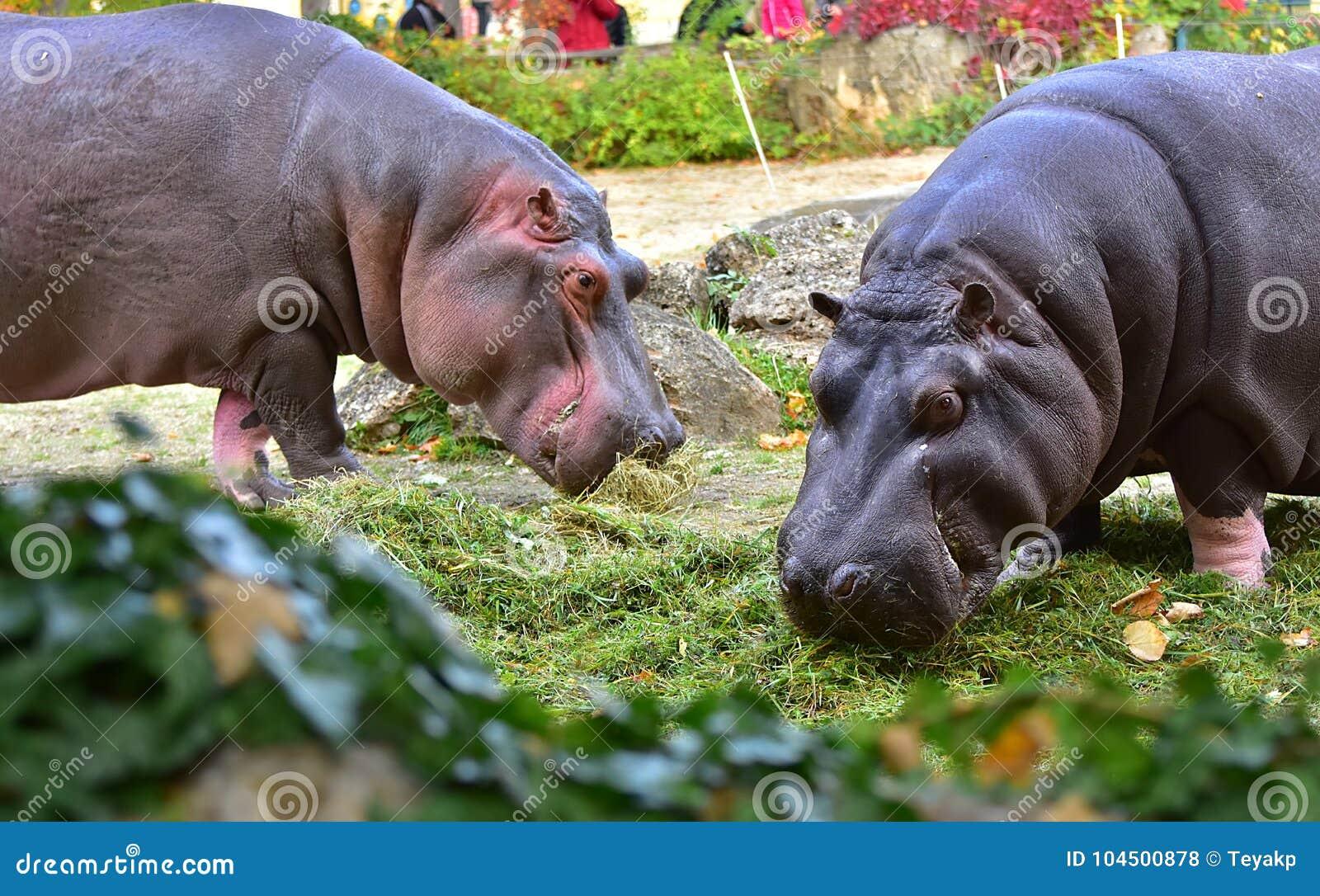 Two Hippopotamus eating green grass