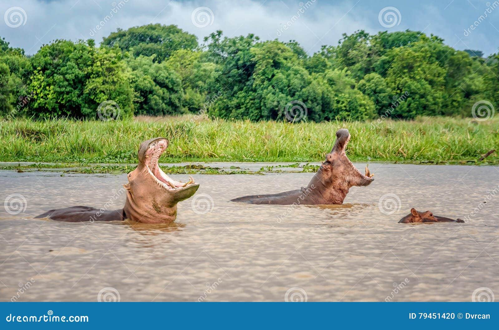 Two Hippopotamus in the waters of Murchison Falls, Uganda