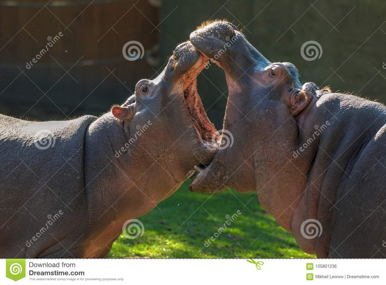 Twohippopotamuses with open mouths whose mouth is bigger. Small hippopotamuses fight. Animal care. Funny vegetarian wild animals