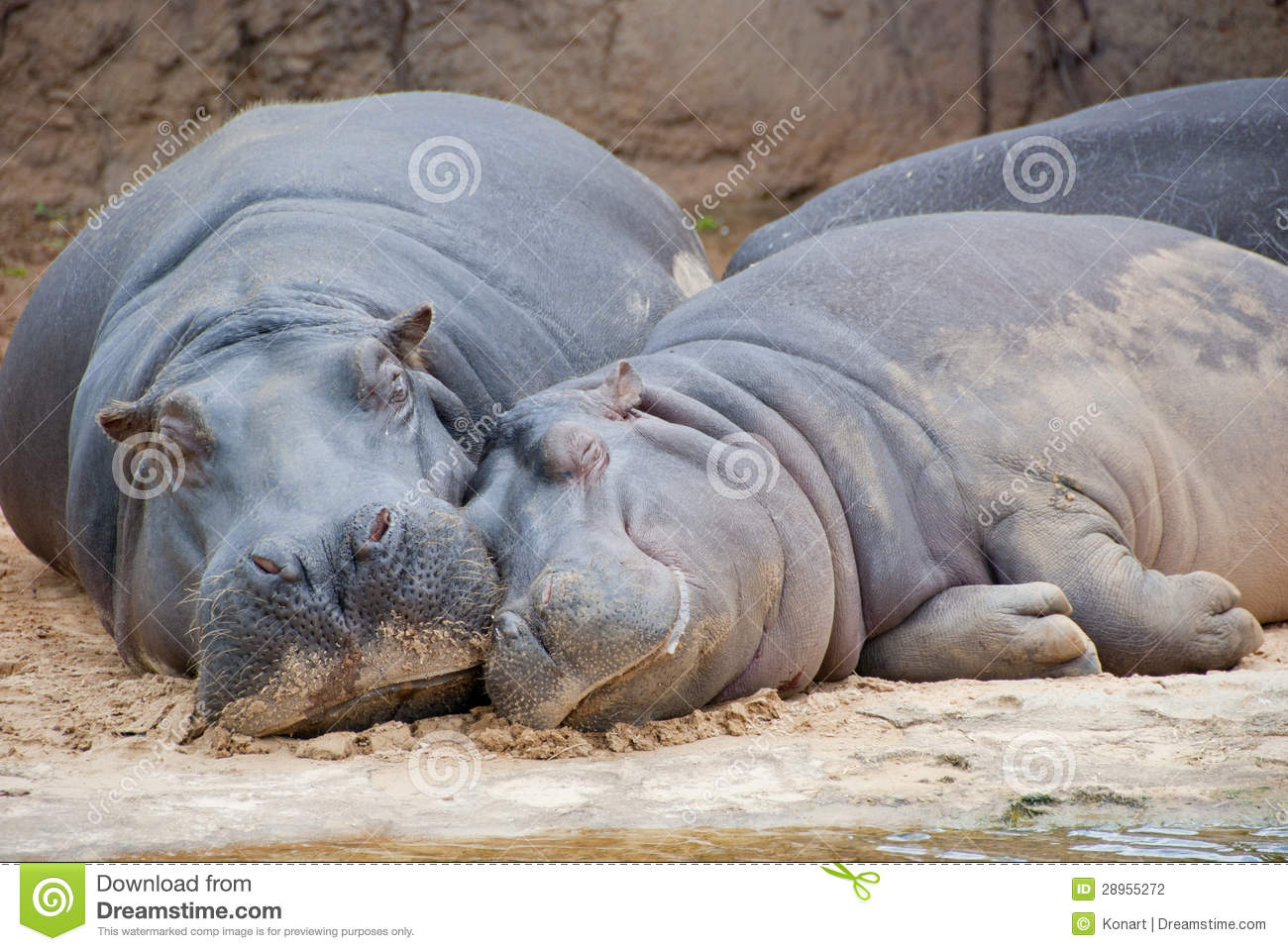 two hippos resting at riverbed stock photo image 28955272