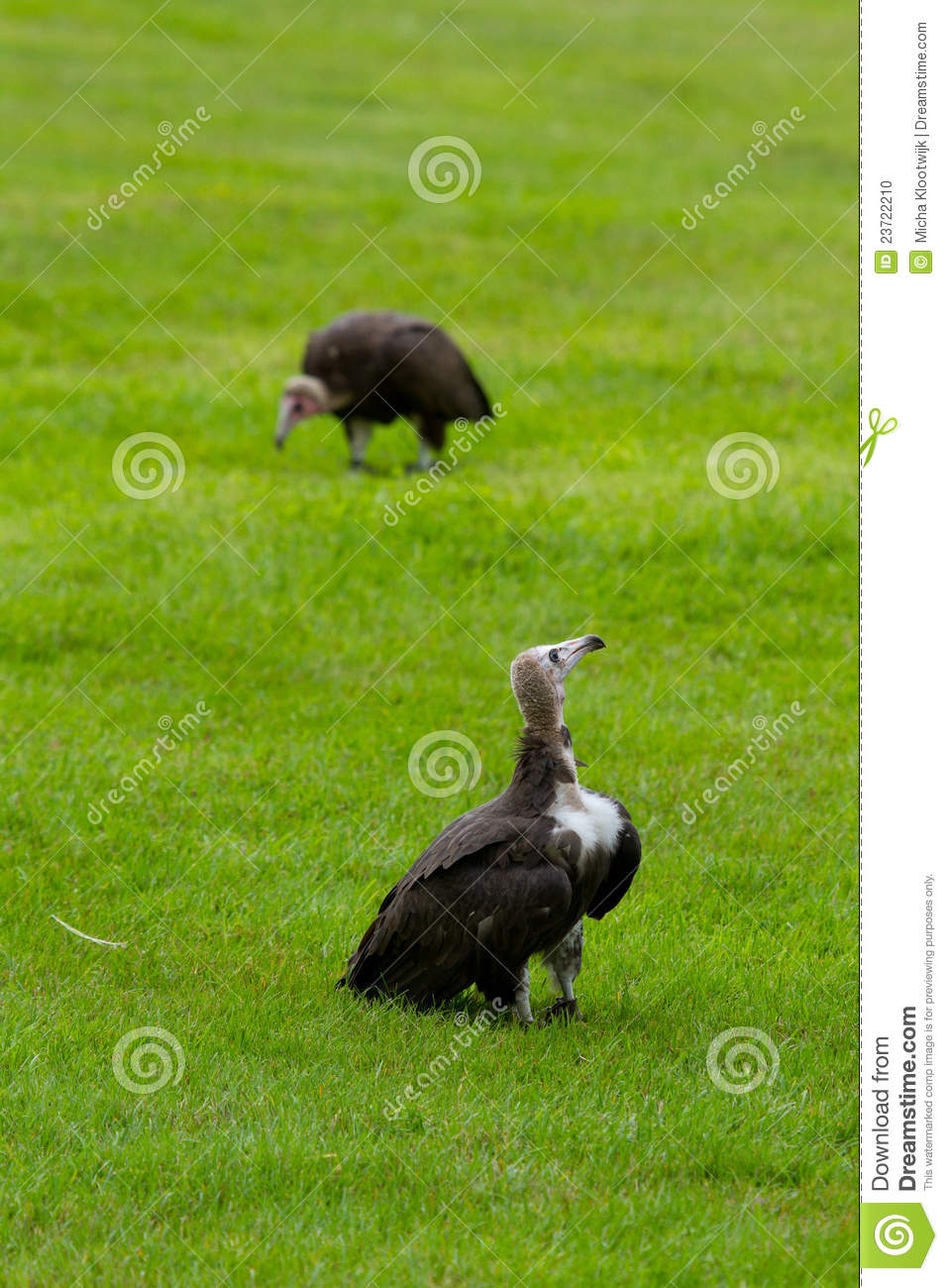 Two hooded vultures