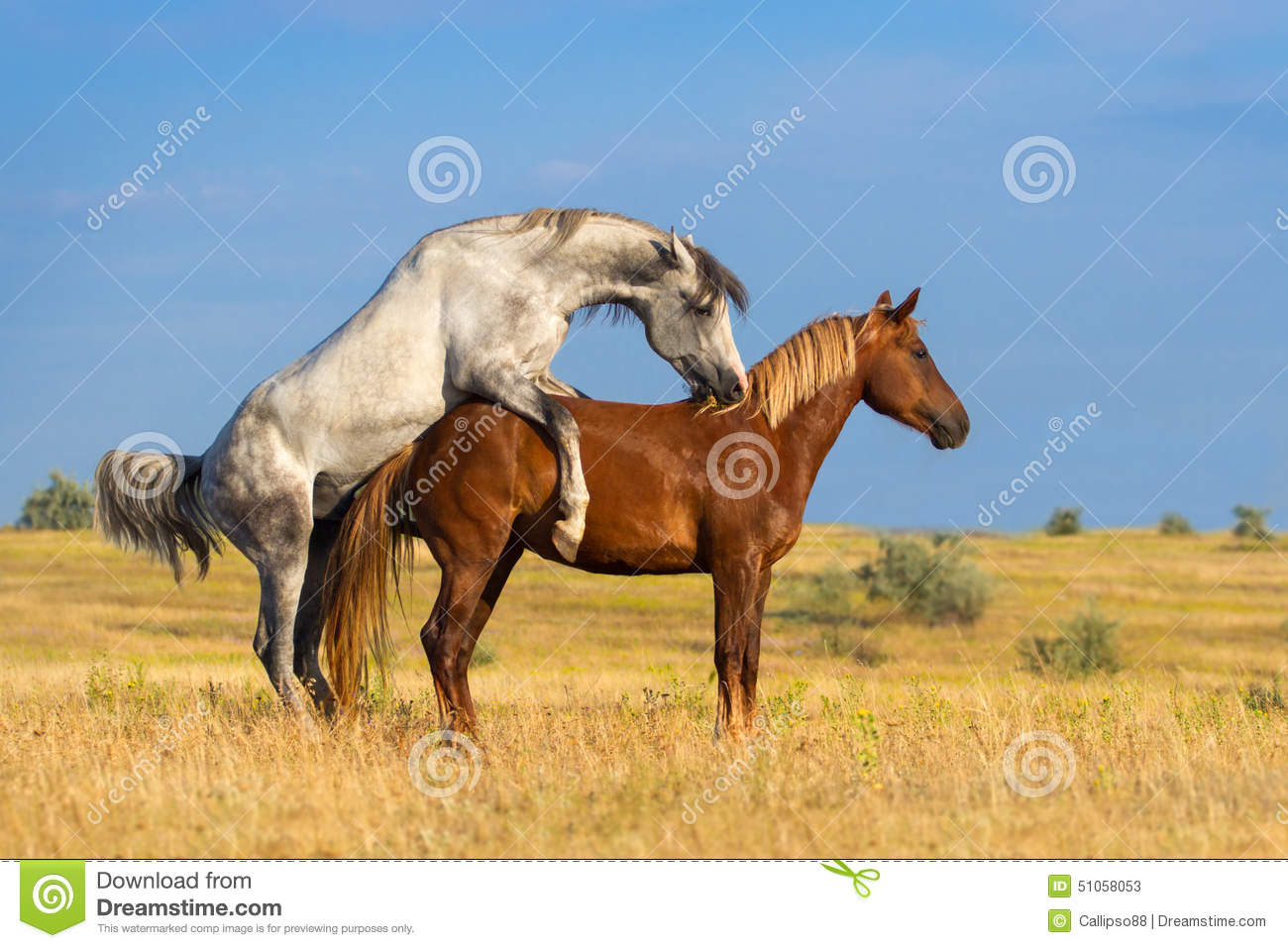 Two Horse Coupling Stock Photo - Image: 51058053