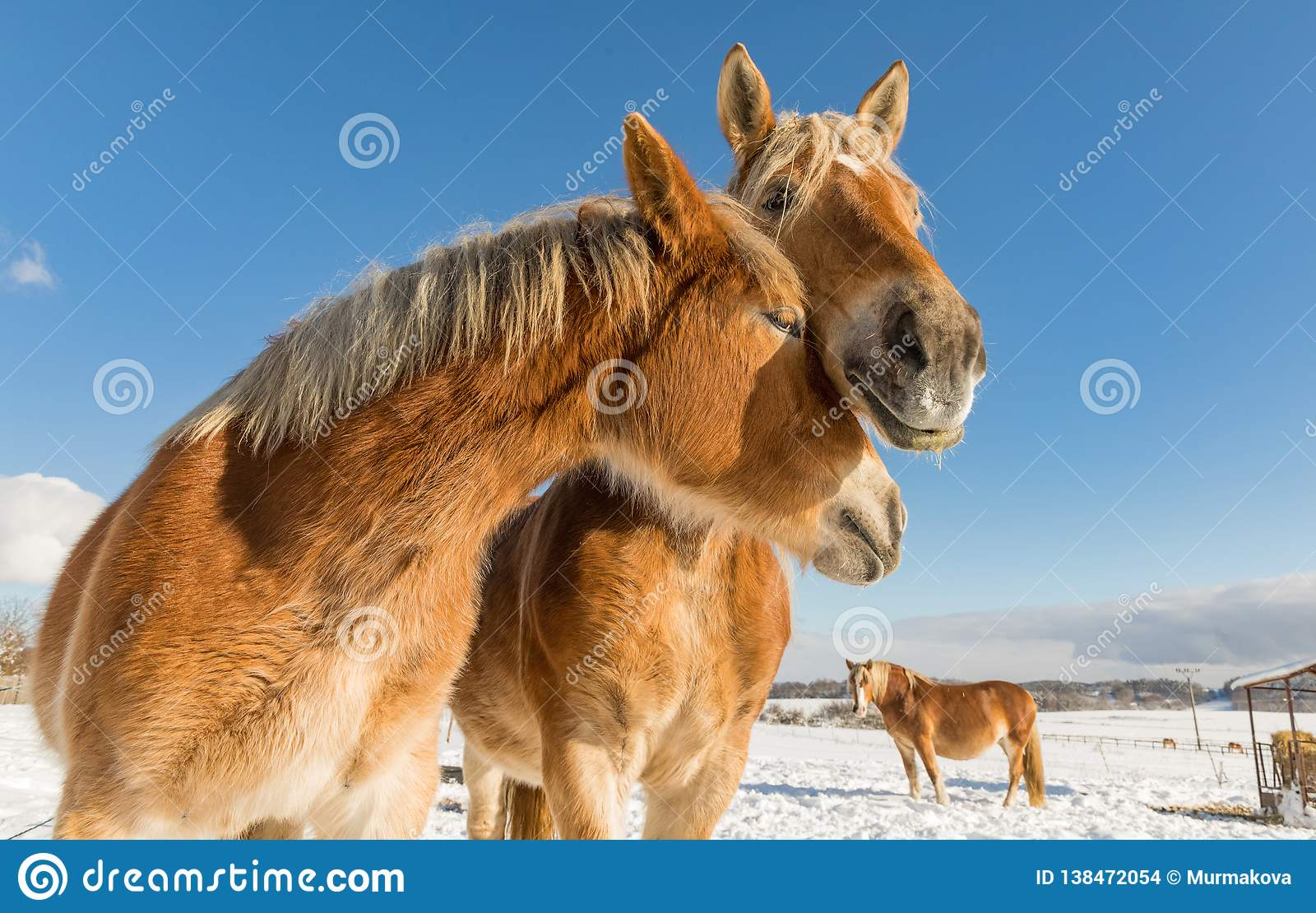 Two horse portrait close up in love, Horse love, Bohemian-Moravian Belgian horse in sunny day. Czech Republic