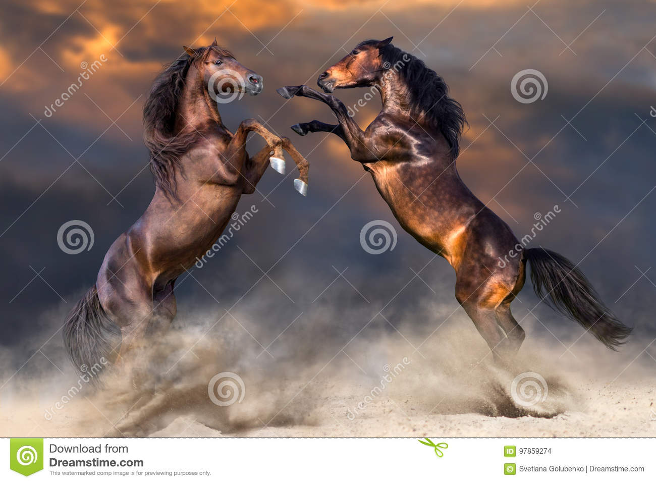 Two horse rearing up