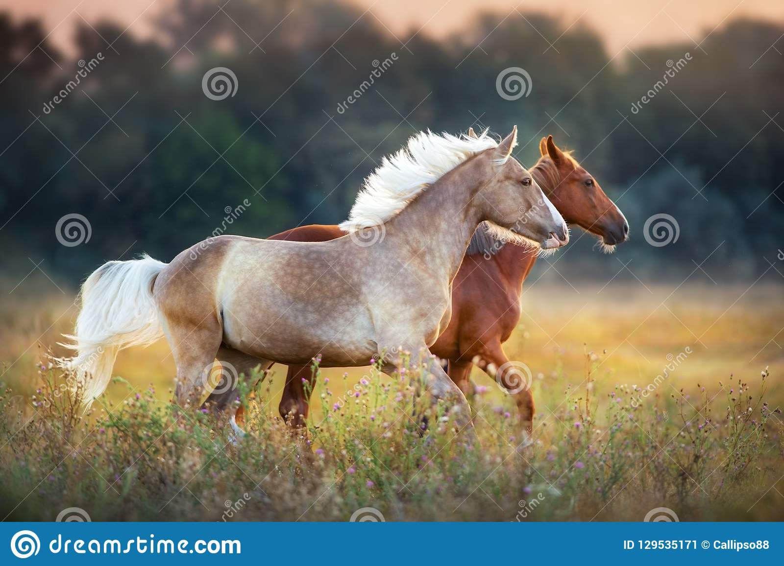 Two horse run on pasture