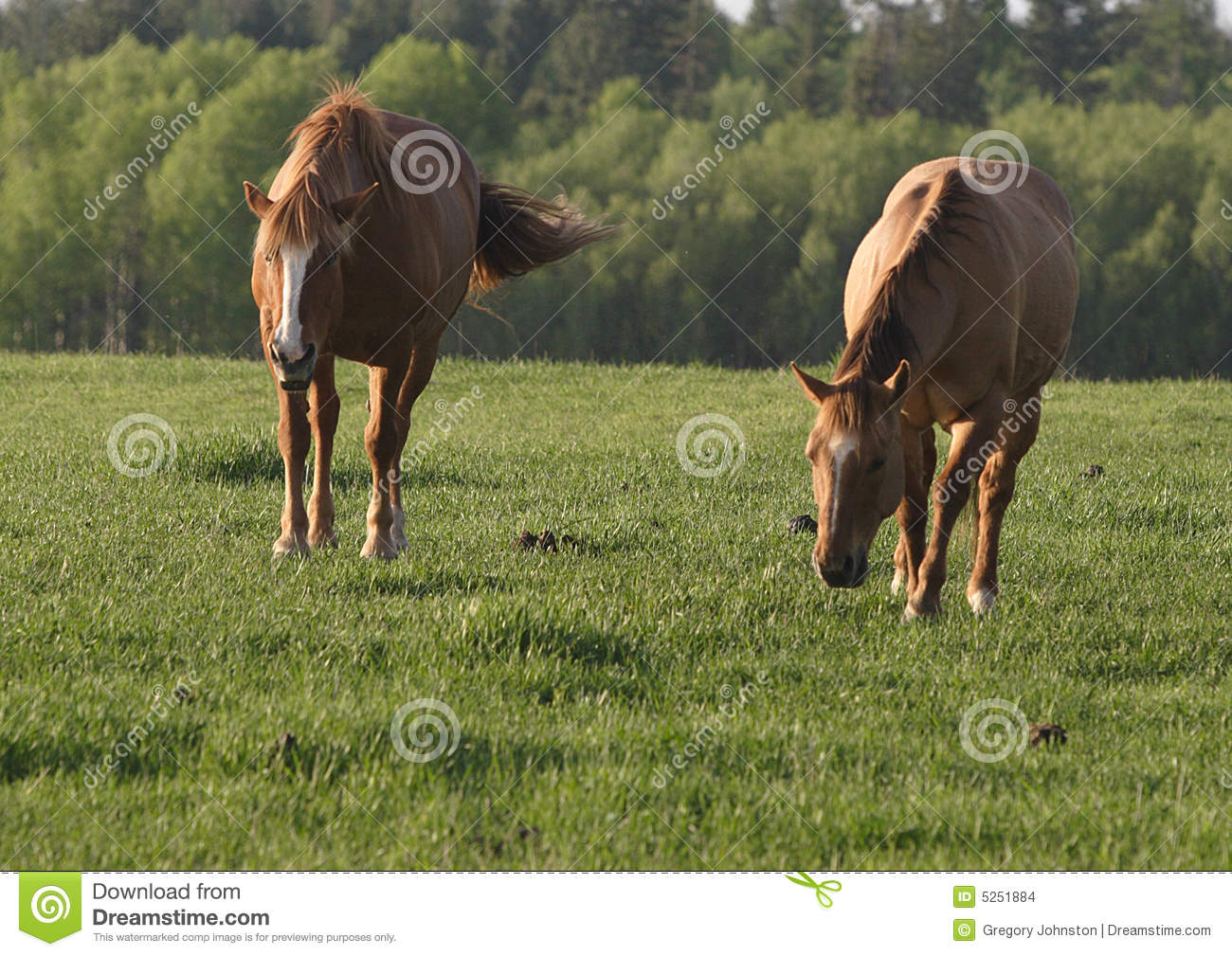 Two Horses In A Field Stock Images Image 5251884