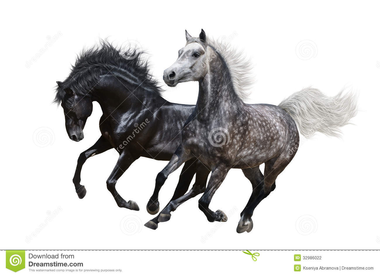 Two Horses Gallop On White Background Stock Photography - Image ...