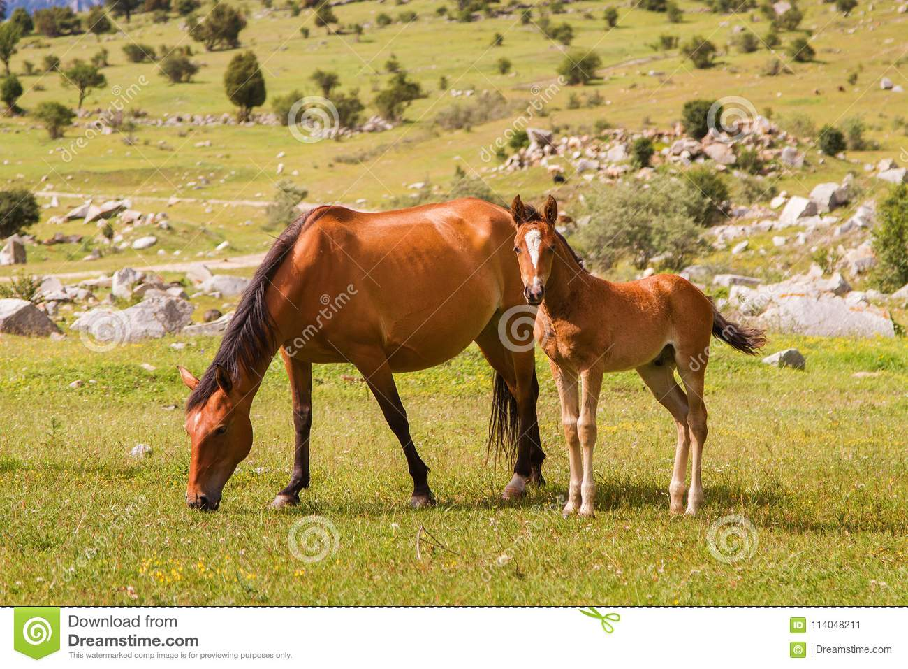 Two Horses Mother And Baby Horse Resting On The Green Meadow Stock Image Image Of Outdoor Rural 114048211