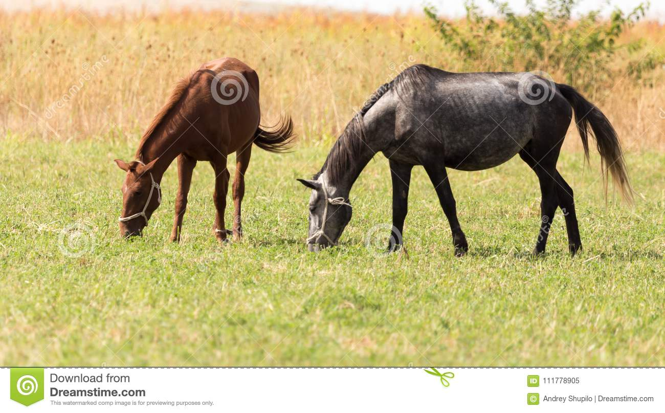 Two horses on pasture at nature