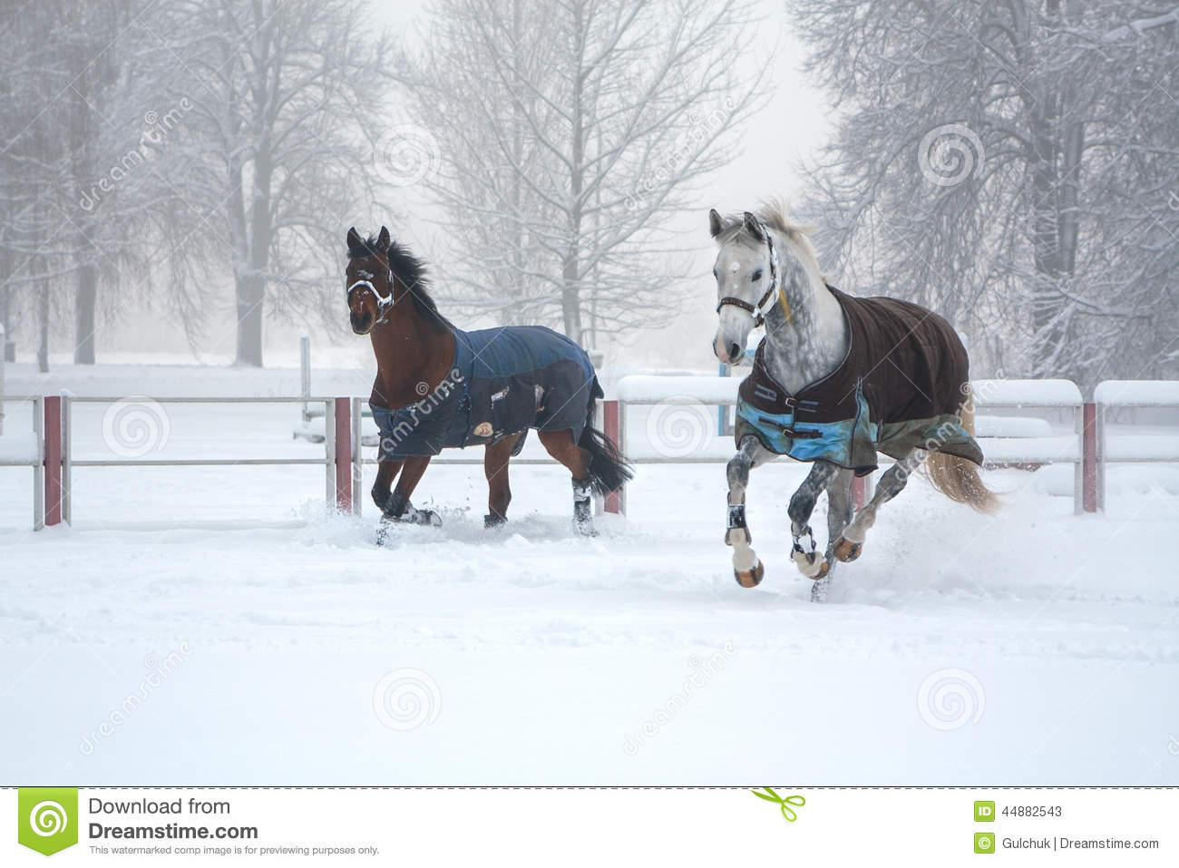 Two horses running on snow misty morning