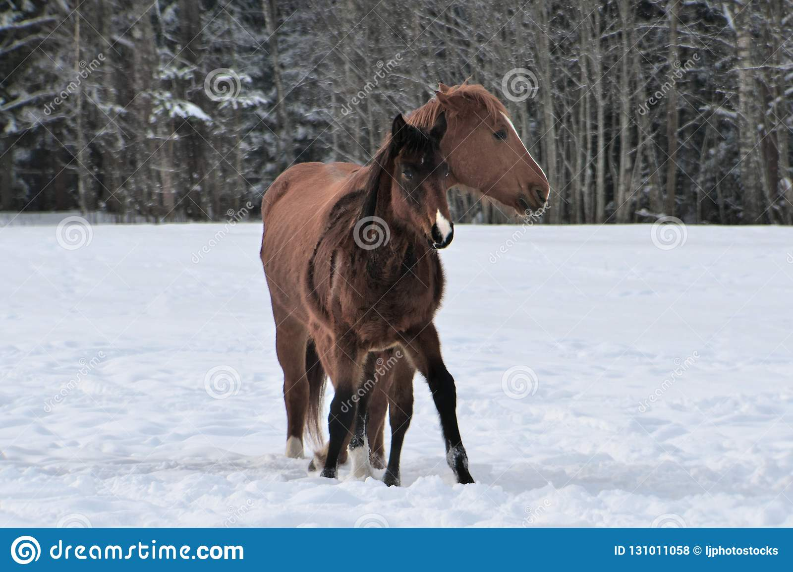 Two Horses Wearing Winter Coats Playing In Snow Covered Paddock Stock Photo Image Of Strip Young 131011058