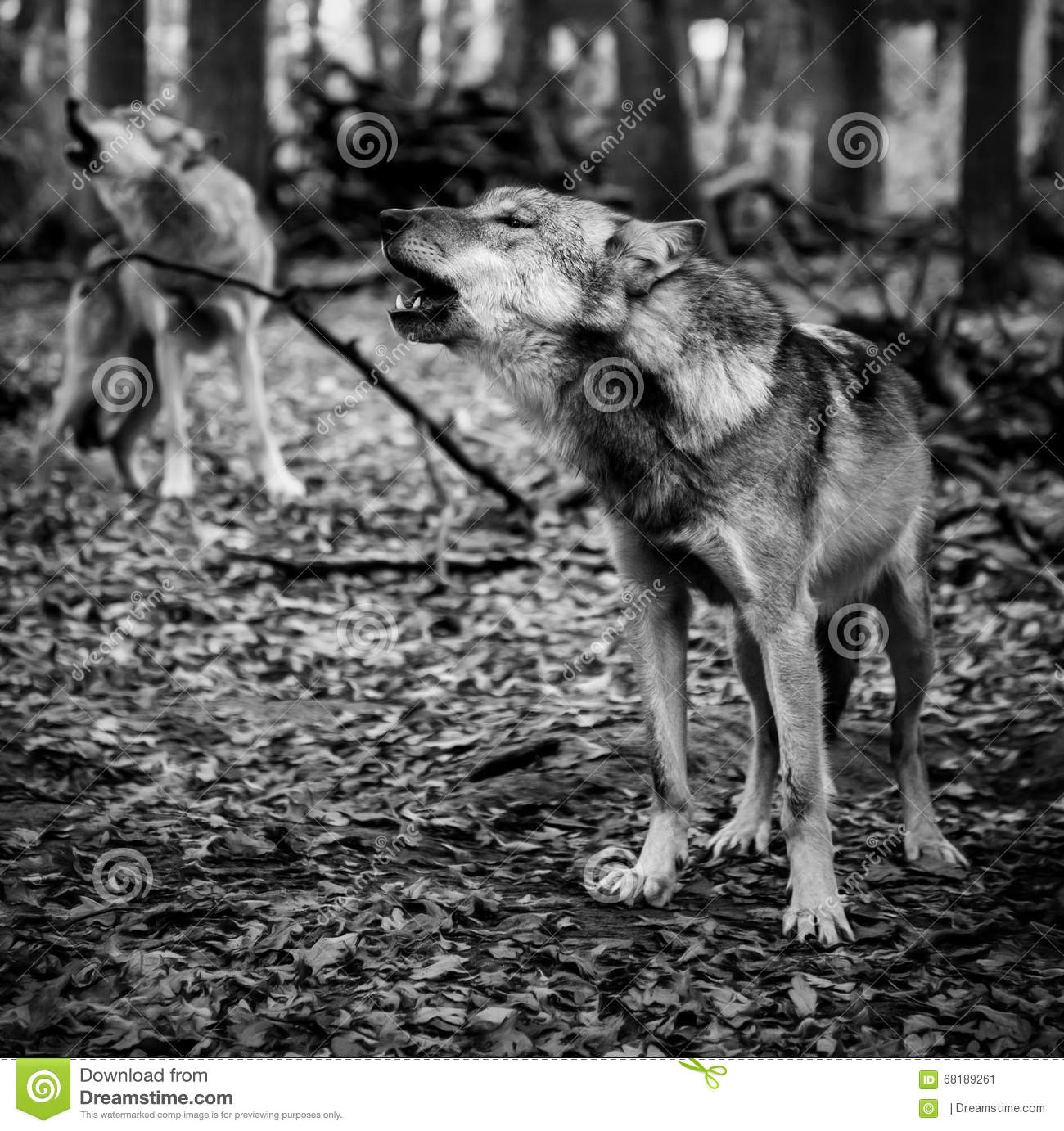 Two howling wolves stock image image of animal endangered 68189261