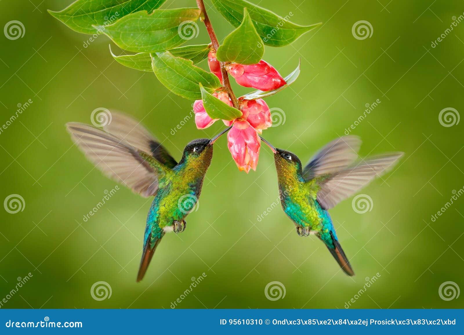 Two hummingbird bird with pink flower. hummingbirds Fiery-throated Hummingbird, flying next to beautiful bloom flower, Savegre, Co