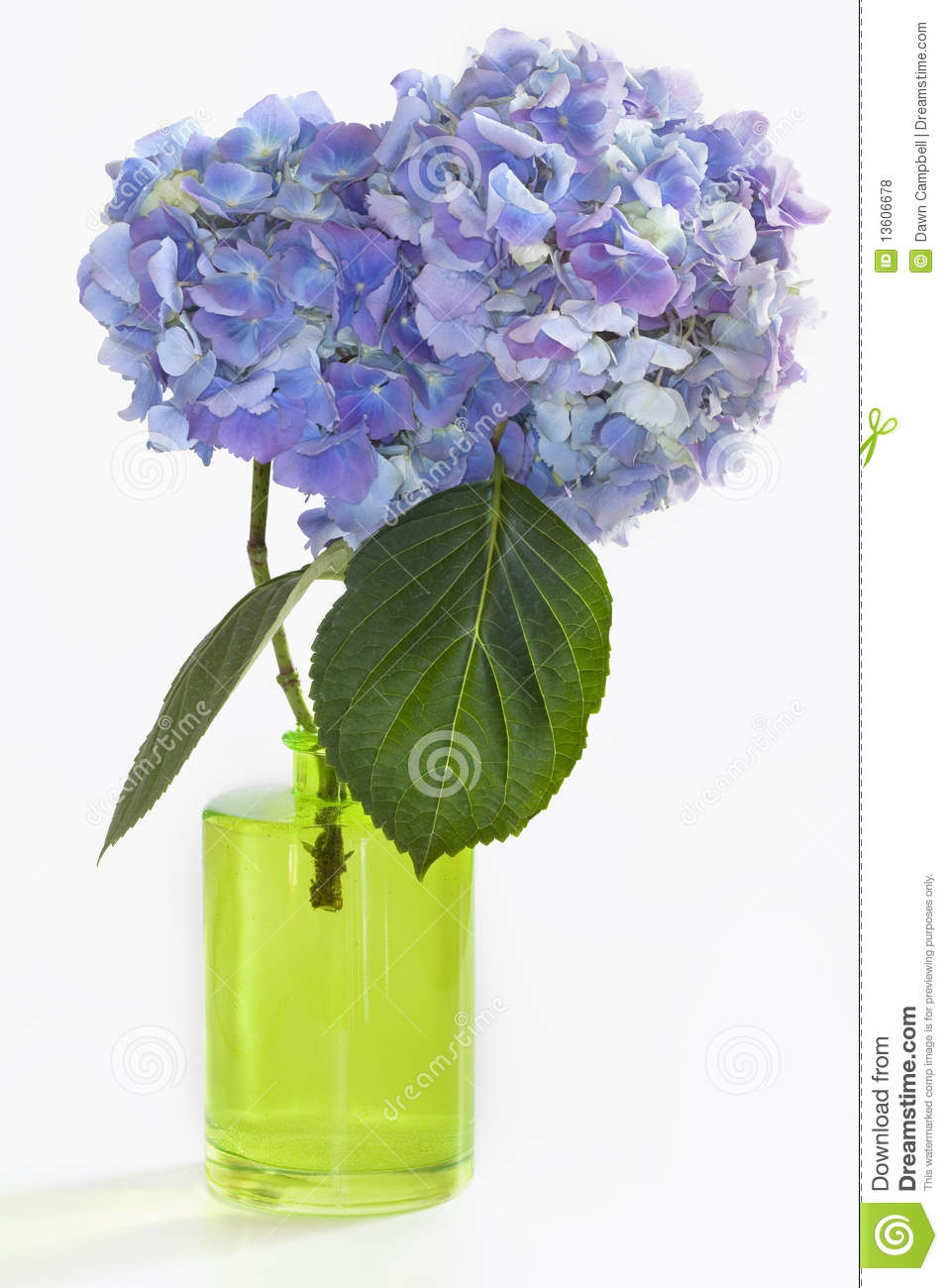Two Hydrangea Blooms In Green Vase On White Royalty Free Stock Photos Image 13606678