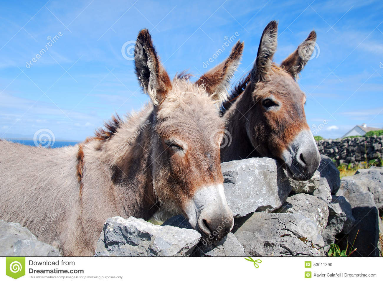 Two Irish Donkeys looking over a wall