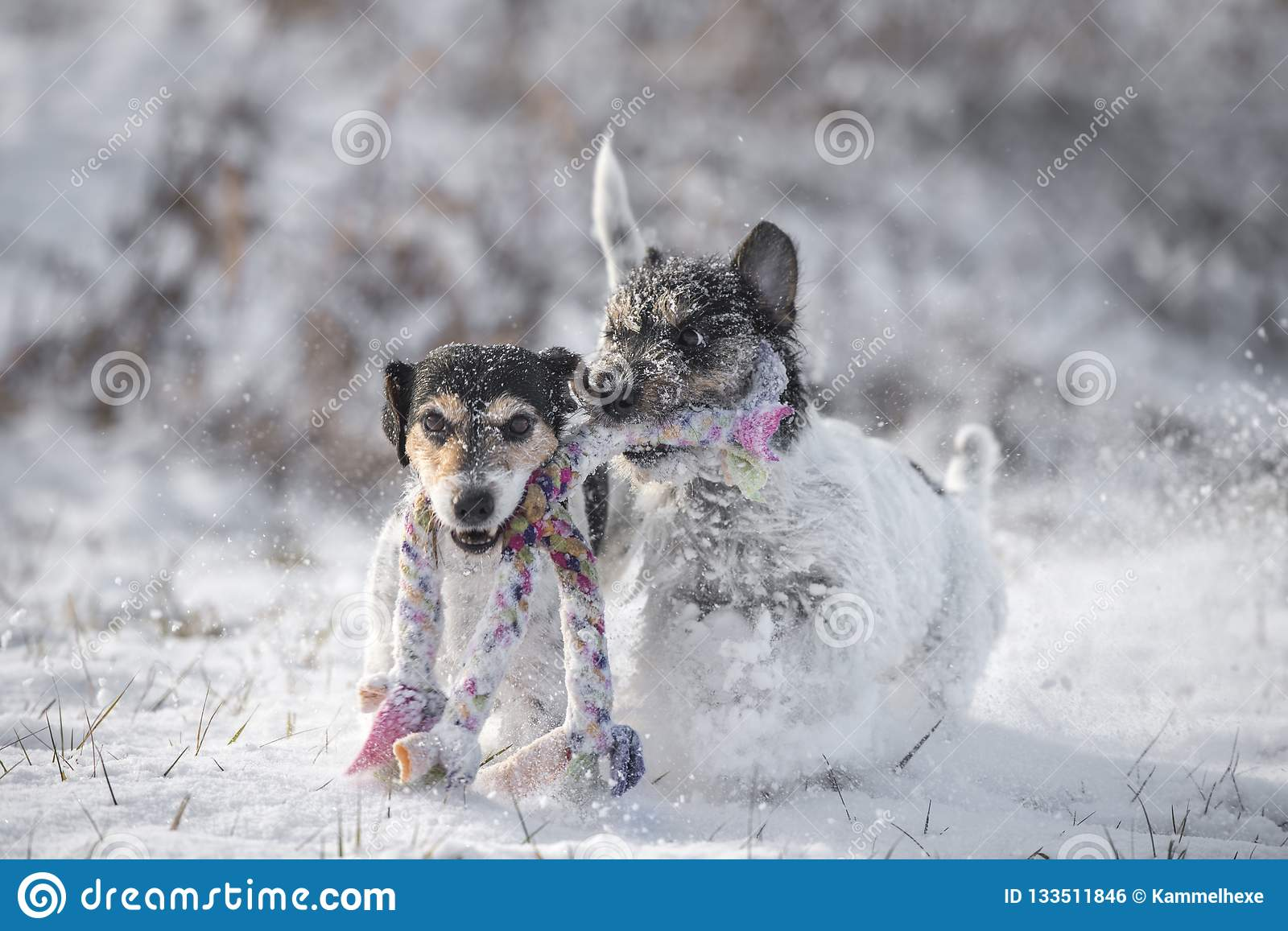 Two Jack Russell Terrier dogs are playing together im snow