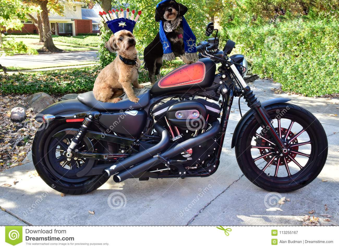 Two Jewish Havanese dogs on motorcycle
