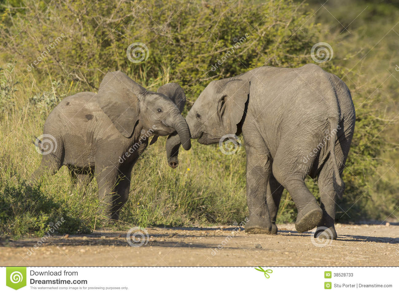 Juvenile African Elephant Feeding On Grass Stock Photo, Picture ...