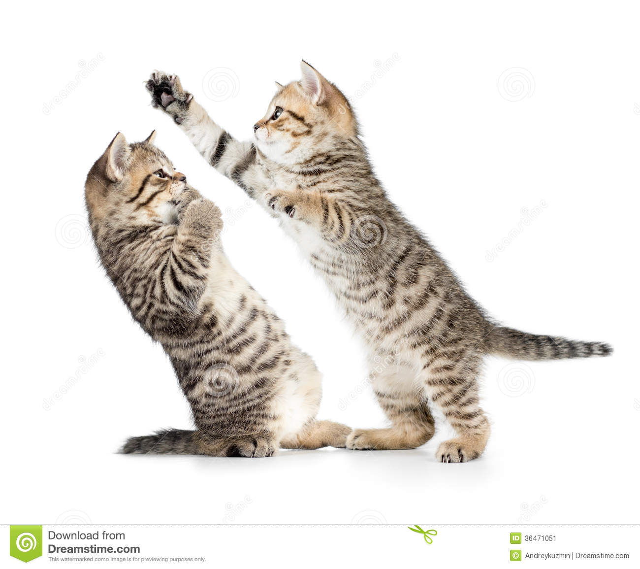 Two Kittens Cats Boxing Or Playing Stock Image - Image of ...