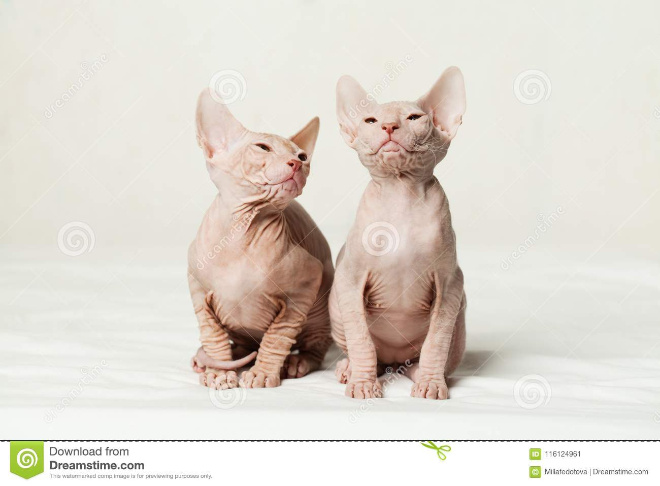 Hairless Cat Kittens