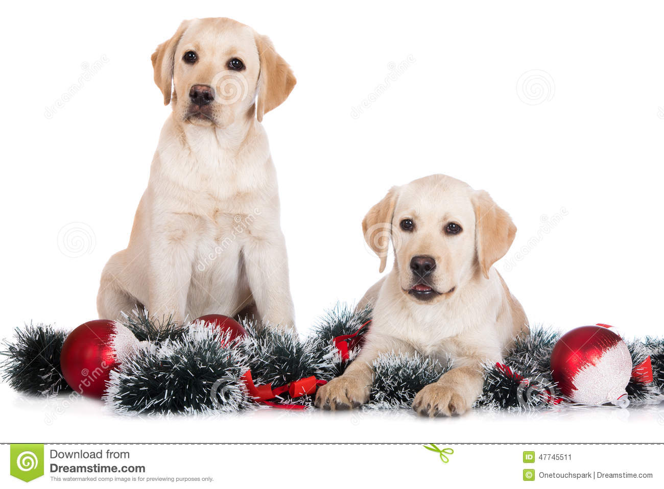 Two Labrador Puppies With Christmas Decorations Stock Image Image Of Adorable Cute 47745511