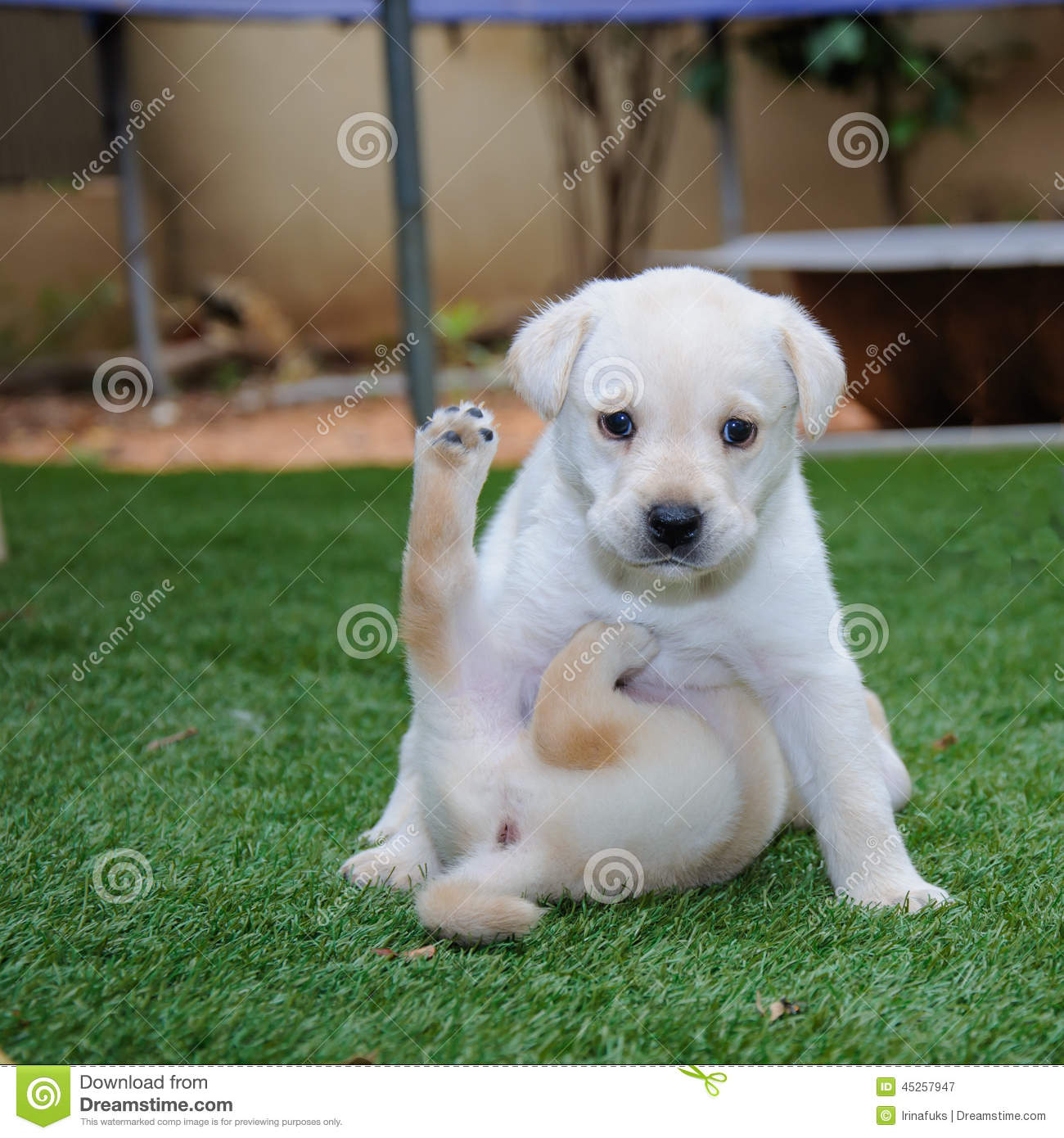 Two Labrador Retriever Puppies Stock Photo - Image: 45257947