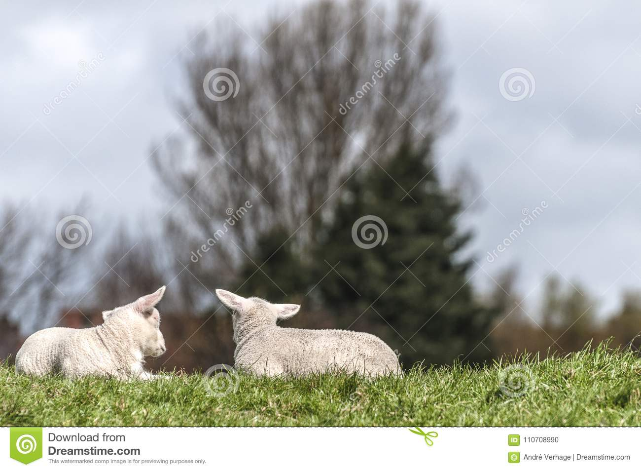 Two lambs lying together on the lawn