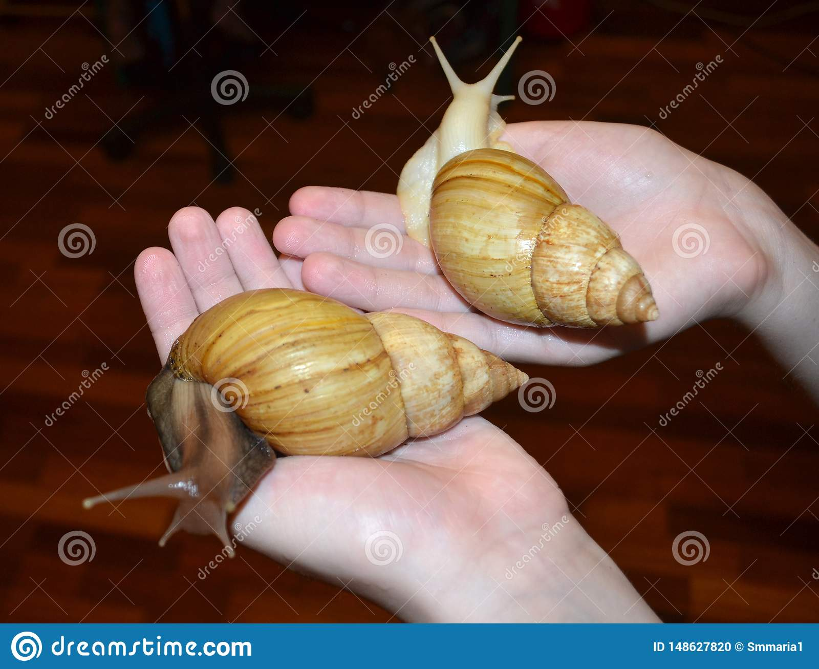 Two large Achatina snails