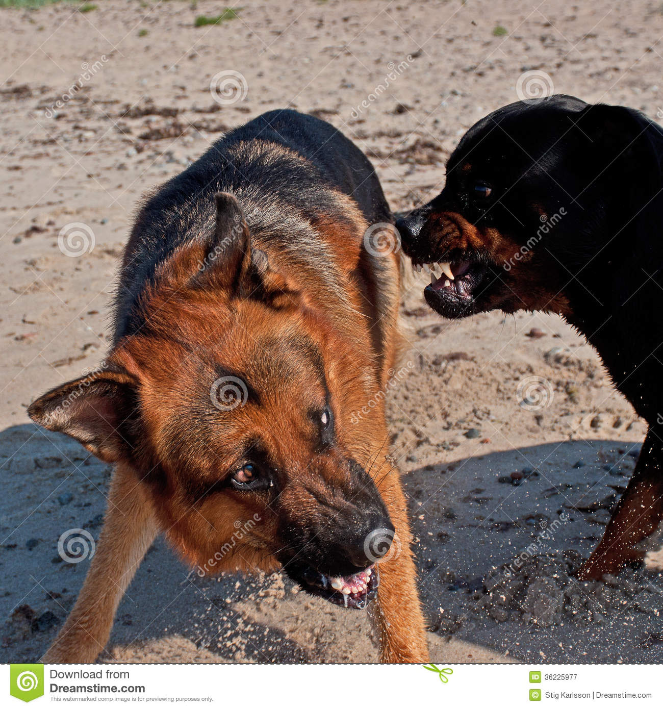 Two Large Dogs Fighting On The Beach Stock Image Image