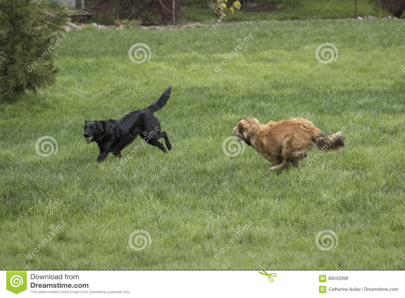 Two Large Dogs Playing Stock Image Image Of Mane Enjoyment 89542099