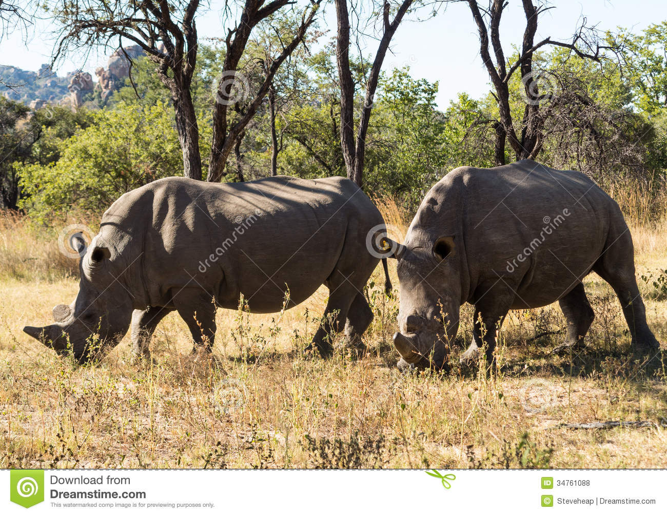 Two large rhinos grazing the grass in Zimbabwe