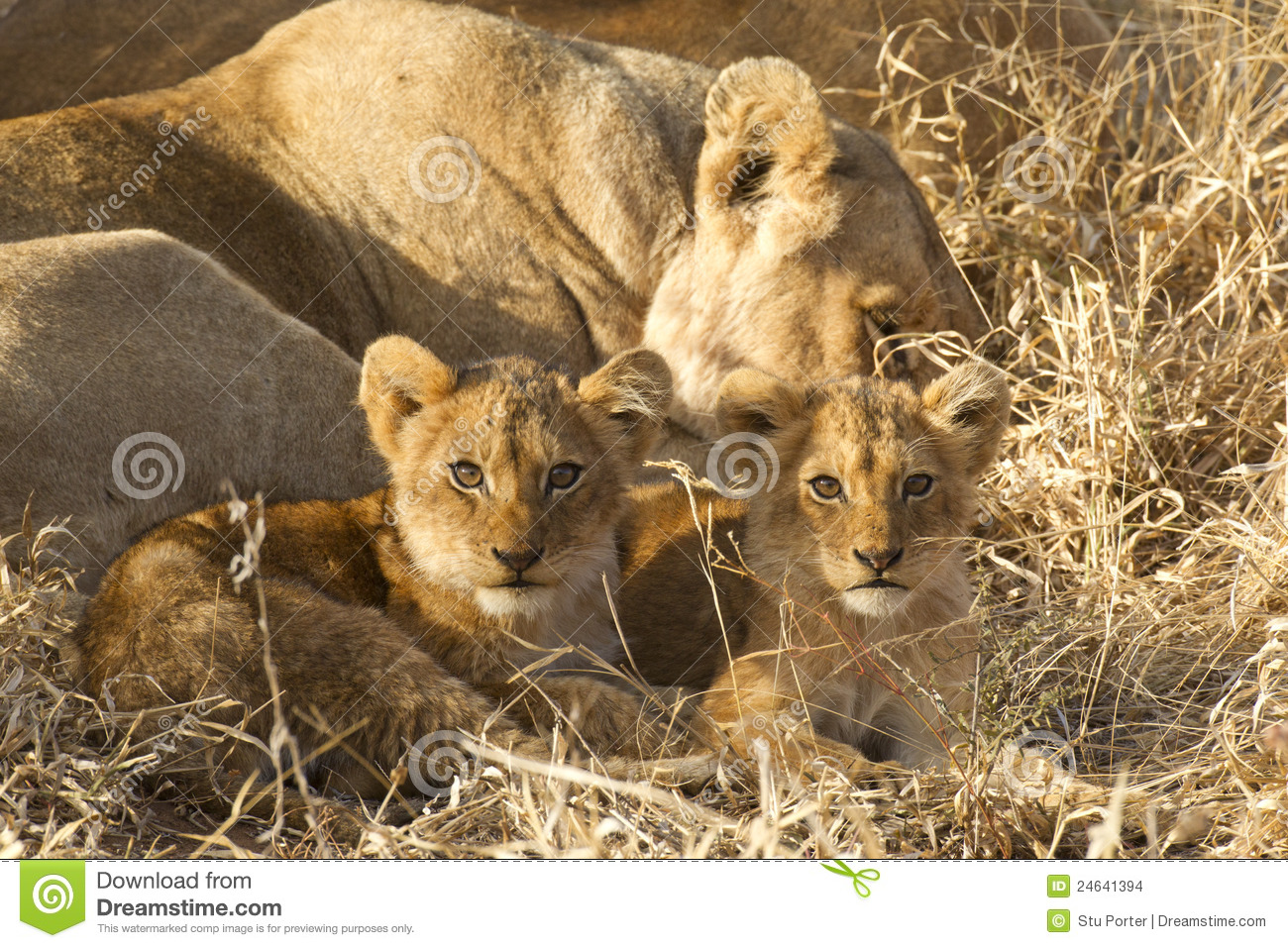 Two Lion cubs, South Africa