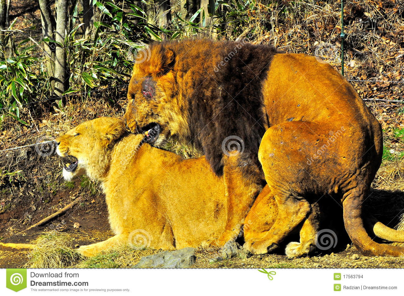 Two lions mating  stock photo  Image of communication - 17563794